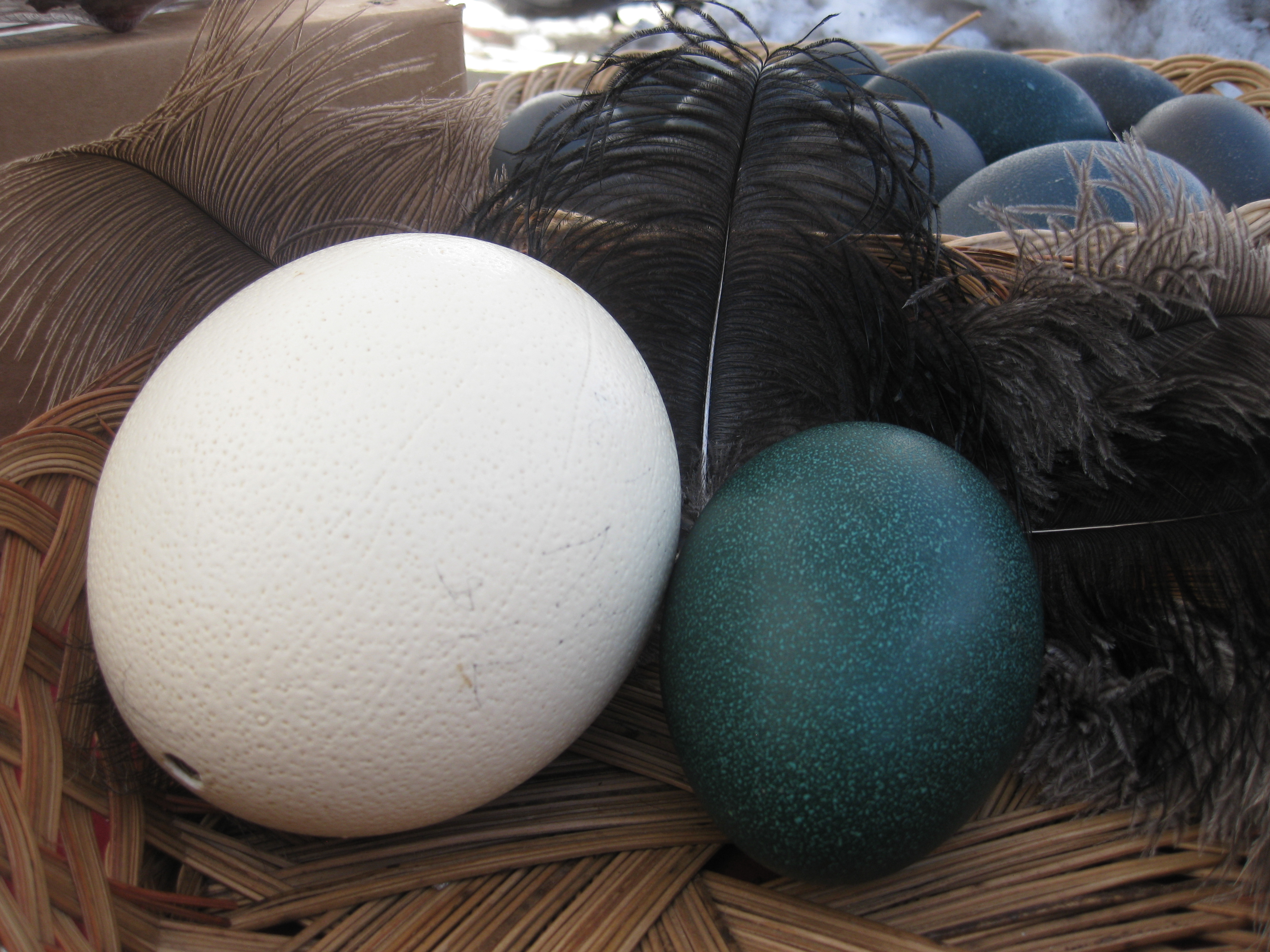 emu and ostrich eggs hatch The artificial incubation of eggs for beginners: primitive type eggs like emus and ostrich a 90 degree tilting action is emu eggs hatch perfectly in a tilting.